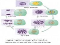 Lý thuyết sự lớn lên và phân chia của tế bào